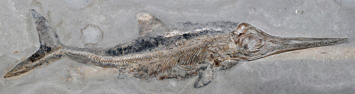 Stenopterygius Fossil