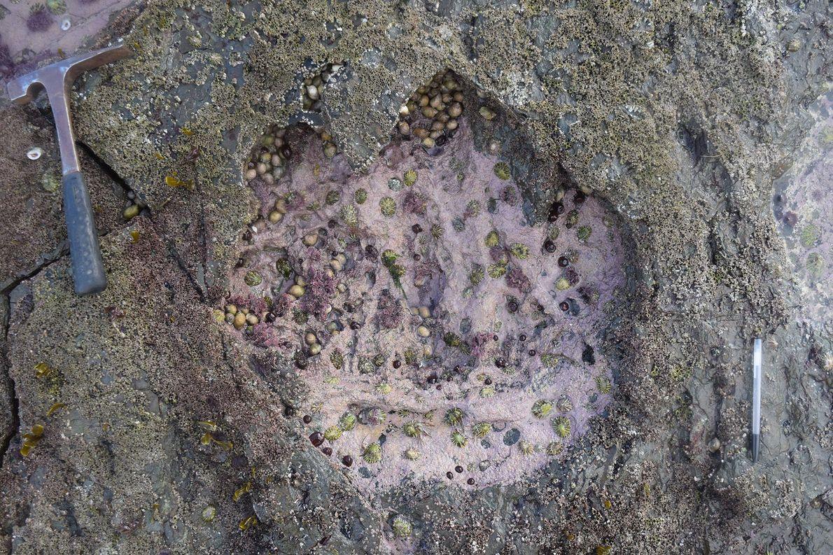 Riesige Dinosaurierspuren auf schottischer Insel entdeckt