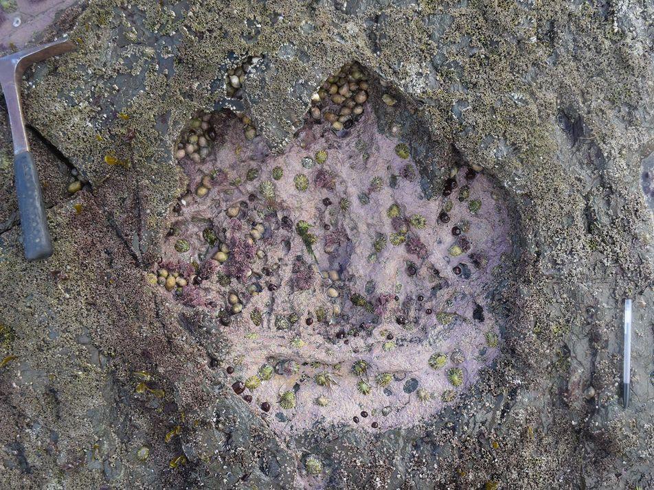 Galerie: Riesige Dinosaurierspuren auf schottischer Insel entdeckt