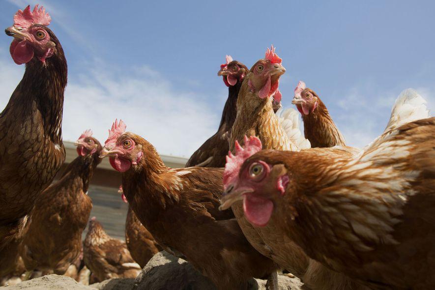 Hühner der Zuchtlinie Lohmann Brown vor einer Scheune der Meadow Haven Farm in Sheffield im US-Bundesstaat ...