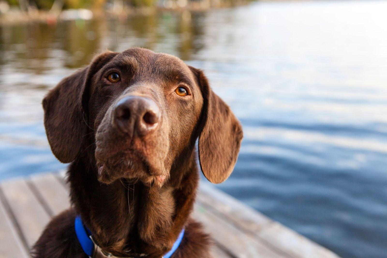 Ein aufmerksamer brauner Labrador sitzt im US-Bundesstaat Maine auf einem Steg. Hunde sind äußerst gut darin, ...