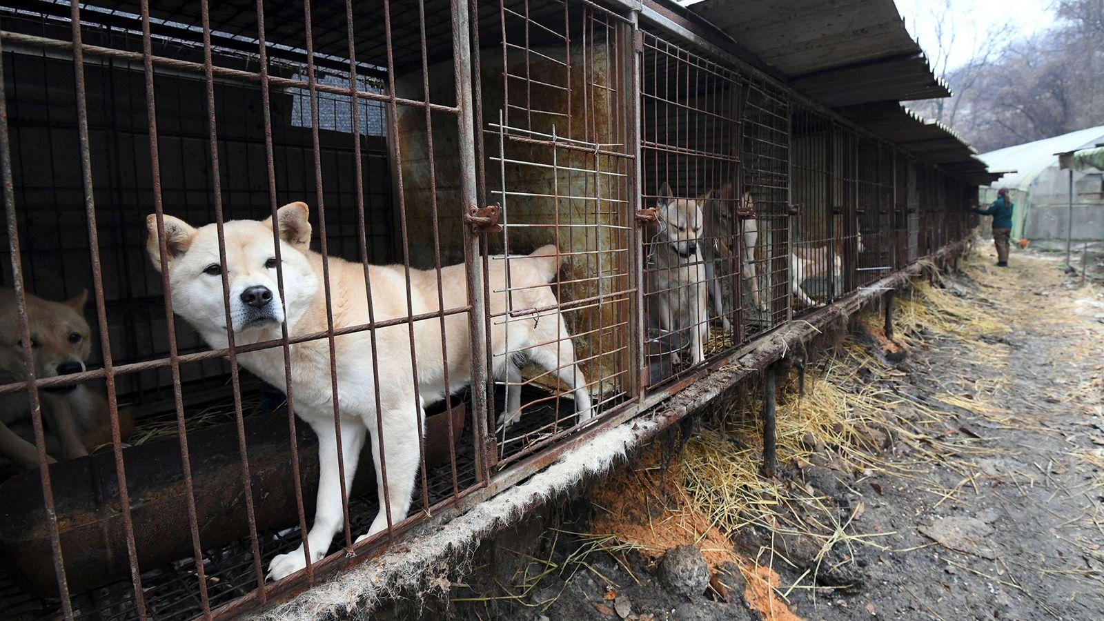 Hunde blicken aus ihren Käfigen. Die Aufnahme wurde 2017 im Rahmen einer Rettungsaktion auf einer Hundefarm ...