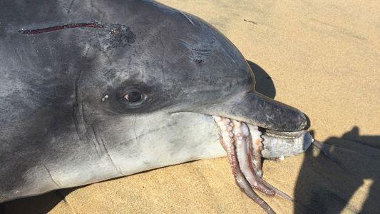 Delfin erstickt an wehrhaftem Oktopus