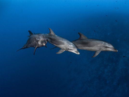 Delfine lernen Werkzeuggebrauch von ihren Freunden