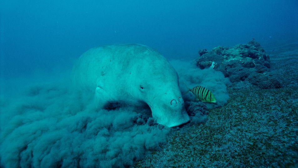 Seekuh-Babyboom im Great Barrier Reef