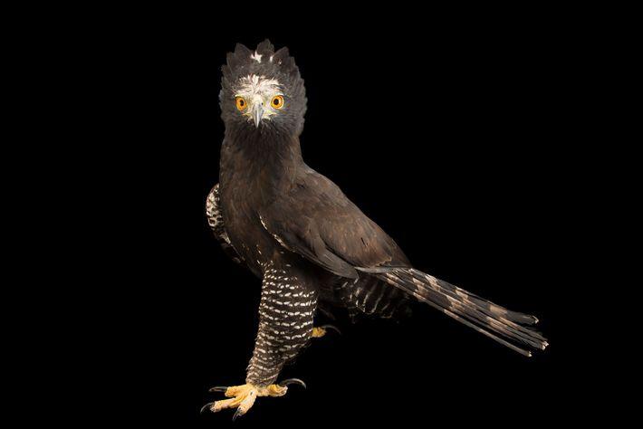 Der Neuwelt-Haubenadler Spizaetus tyrannus zeigt sein beeindruckendes Gefieder. Dieses Tier lebt im Parque Jaime Duque, einem ...