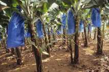 In der Lebensmittelindustrie ist Plastik allgegenwärtig. Diese Bananen auf einer Plantage in Kamerun werden mit Plastiksäcken ...