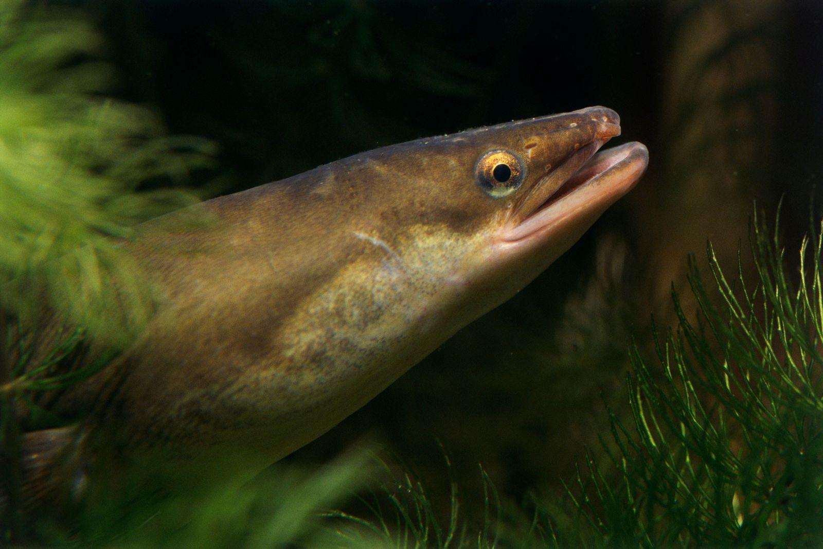 Europäische Aale