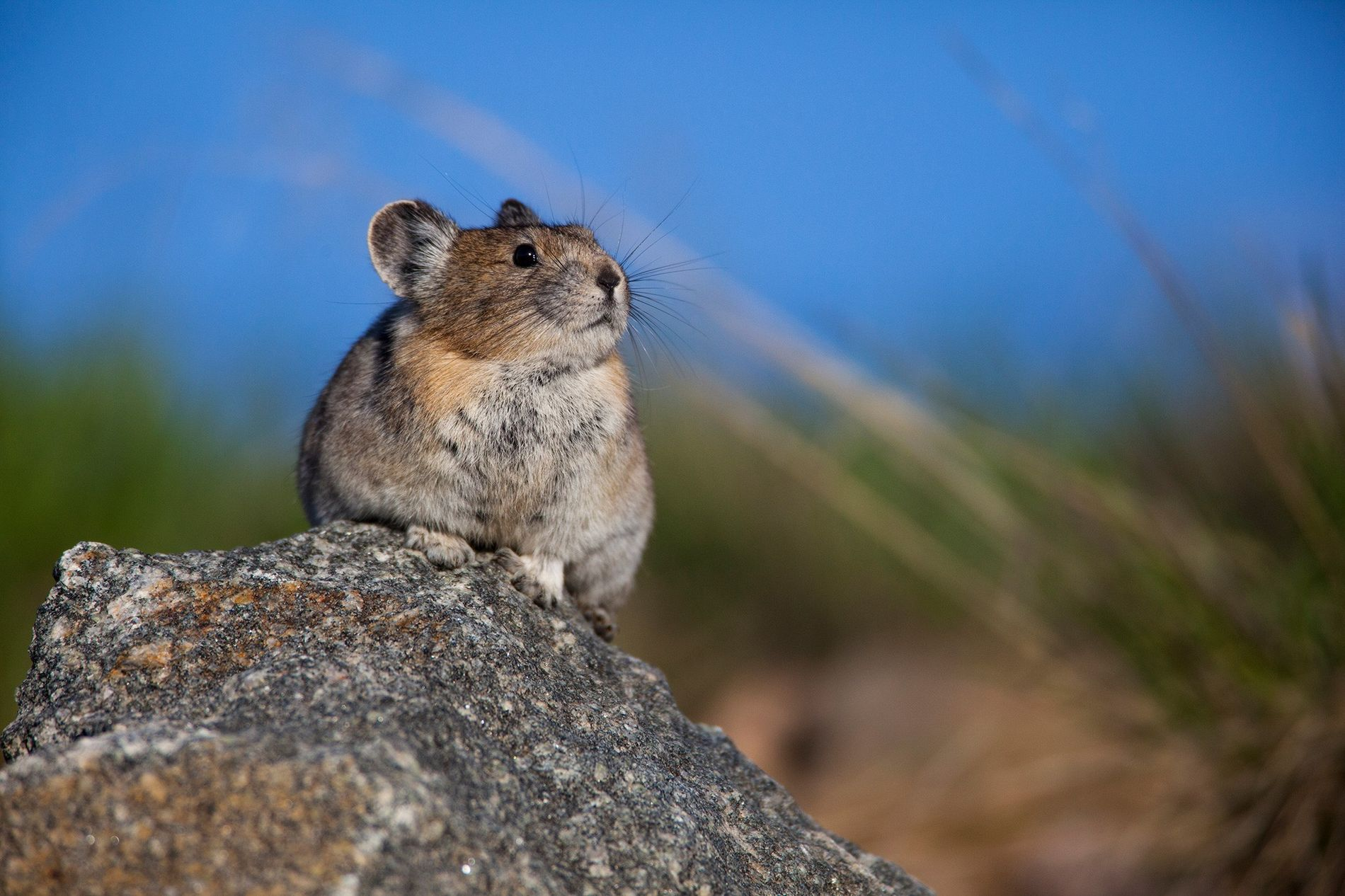 Der Amerikanische Pfeifhase (hier zu sehen ist ein Exemplar im Greater Yellowstone Ecosystem) ist überraschend anpassungsfähig ...