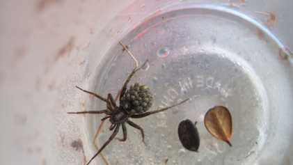 Galerie: Klimawandel lässt Spinnen wachsen – und das hat Vorteile