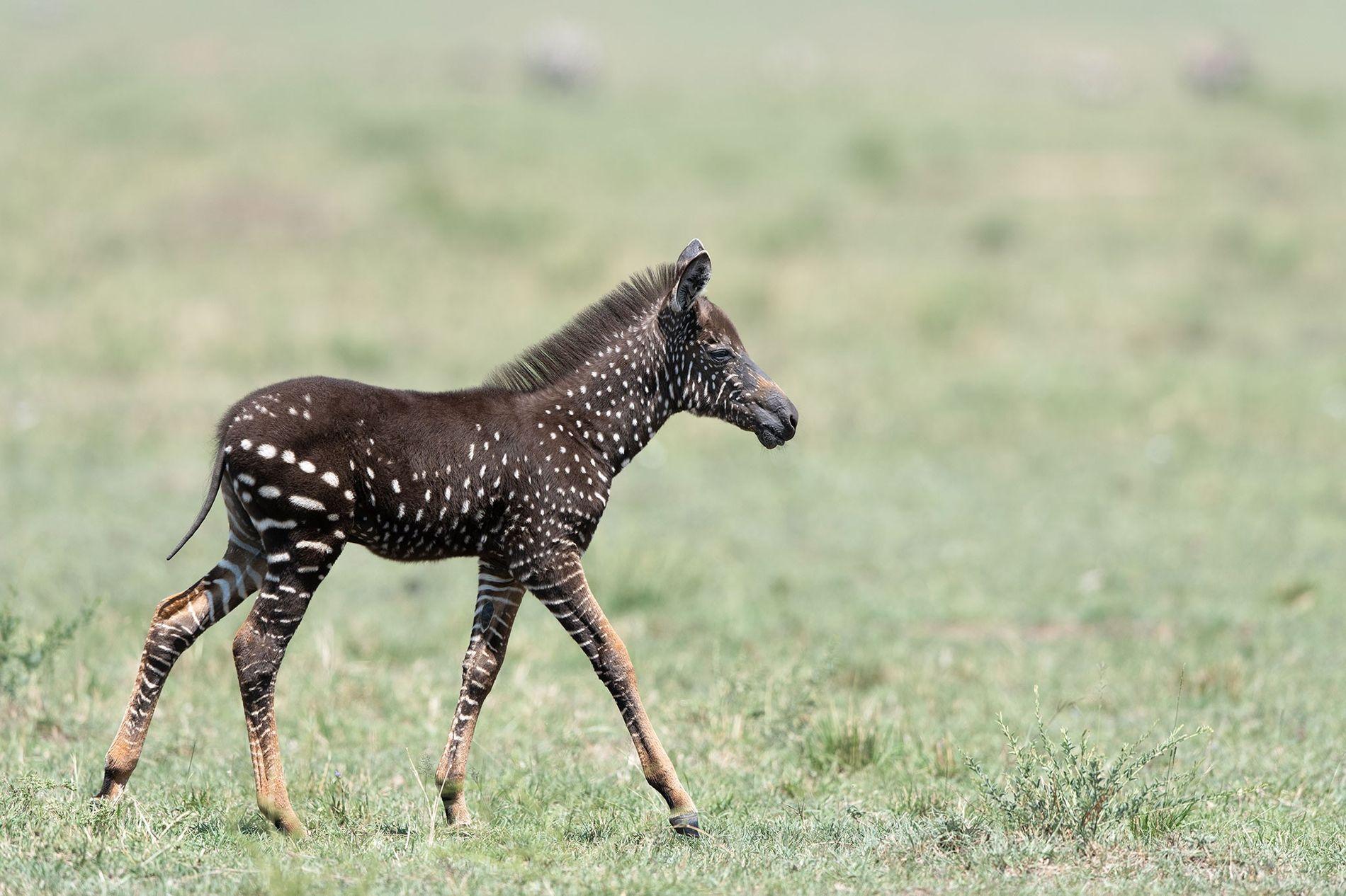 Geflecktes Zebrafohlen in Kenia entdeckt