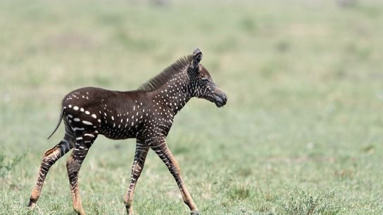 Tira das gefleckte Zebra