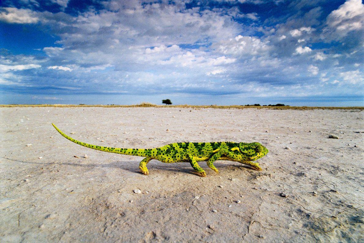 Ein Lappenchamäleon durchquert eine Salzpfanne in den Makgadikgadi-Salzpfannen, Botswana.