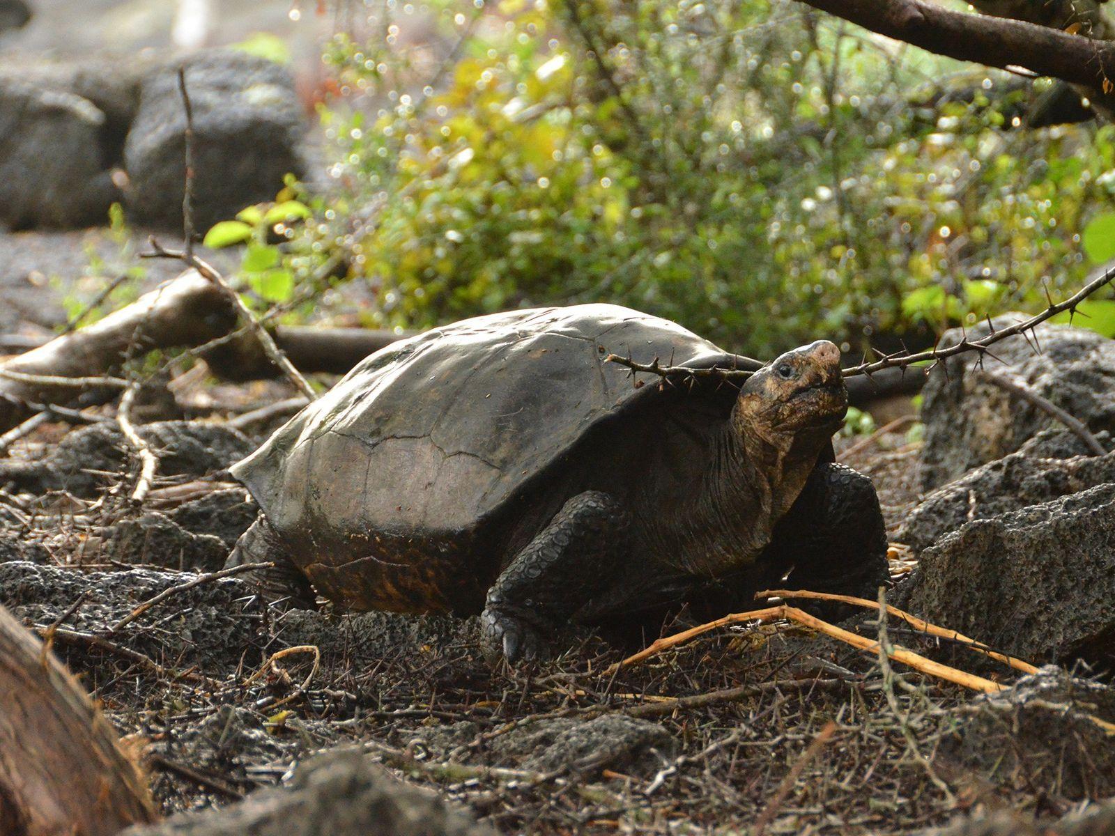Die letzte bestätigte Sichtung einer lebenden Fernandinha-Riesenschildkröte erfolgte 1906.