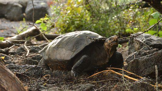 100 Jahre ausgestorben: Comeback einer Galapagos-Schildkröte