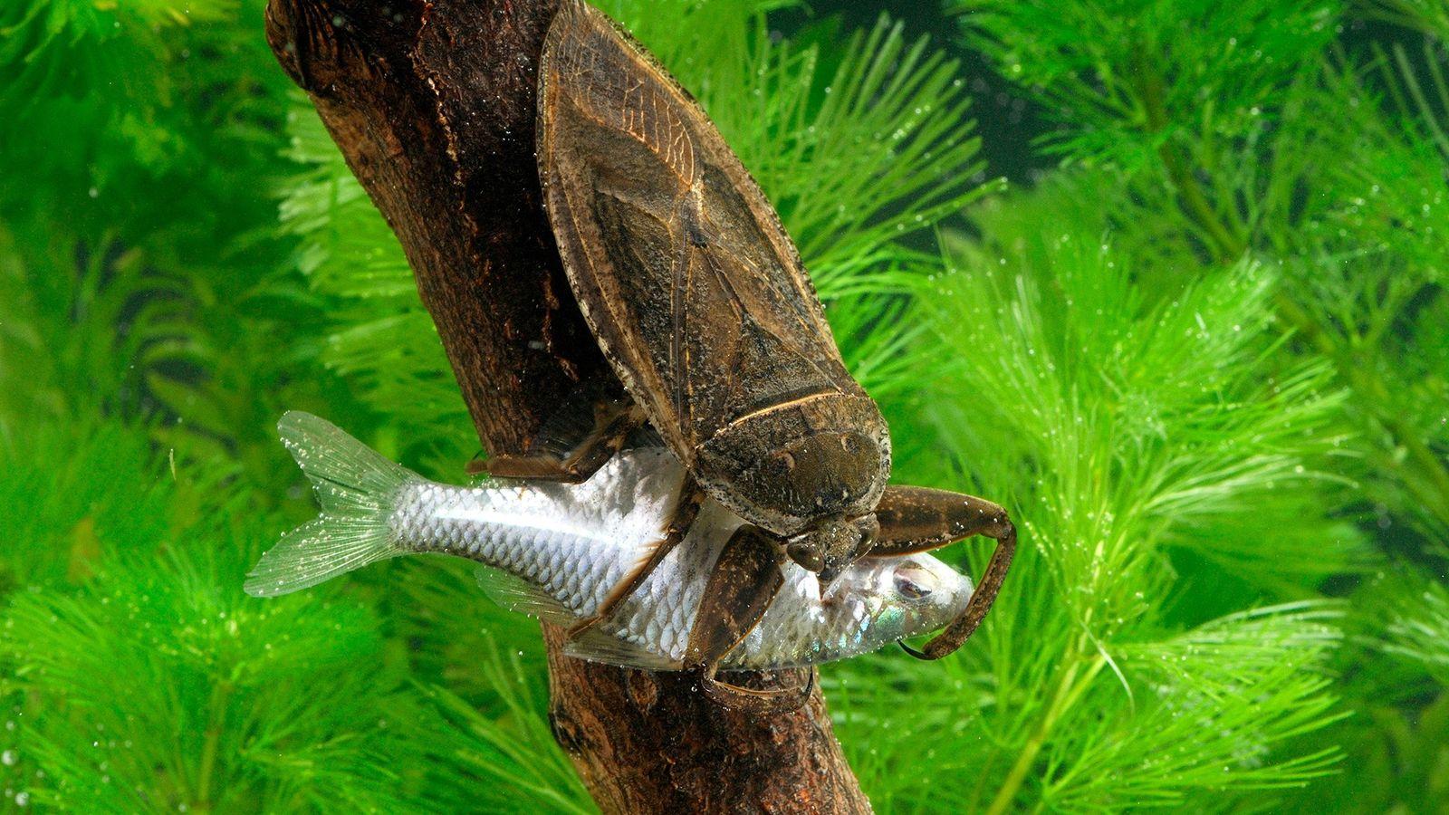 Eine Riesenwanze der Art Lethocerus deyrollei greift in der japanischen Stadt Saitama einen Fisch an.