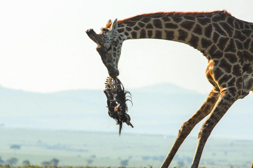 Giraffen lecken und nagen wahrscheinlich zur Nährstoffaufnahme an Knochen.