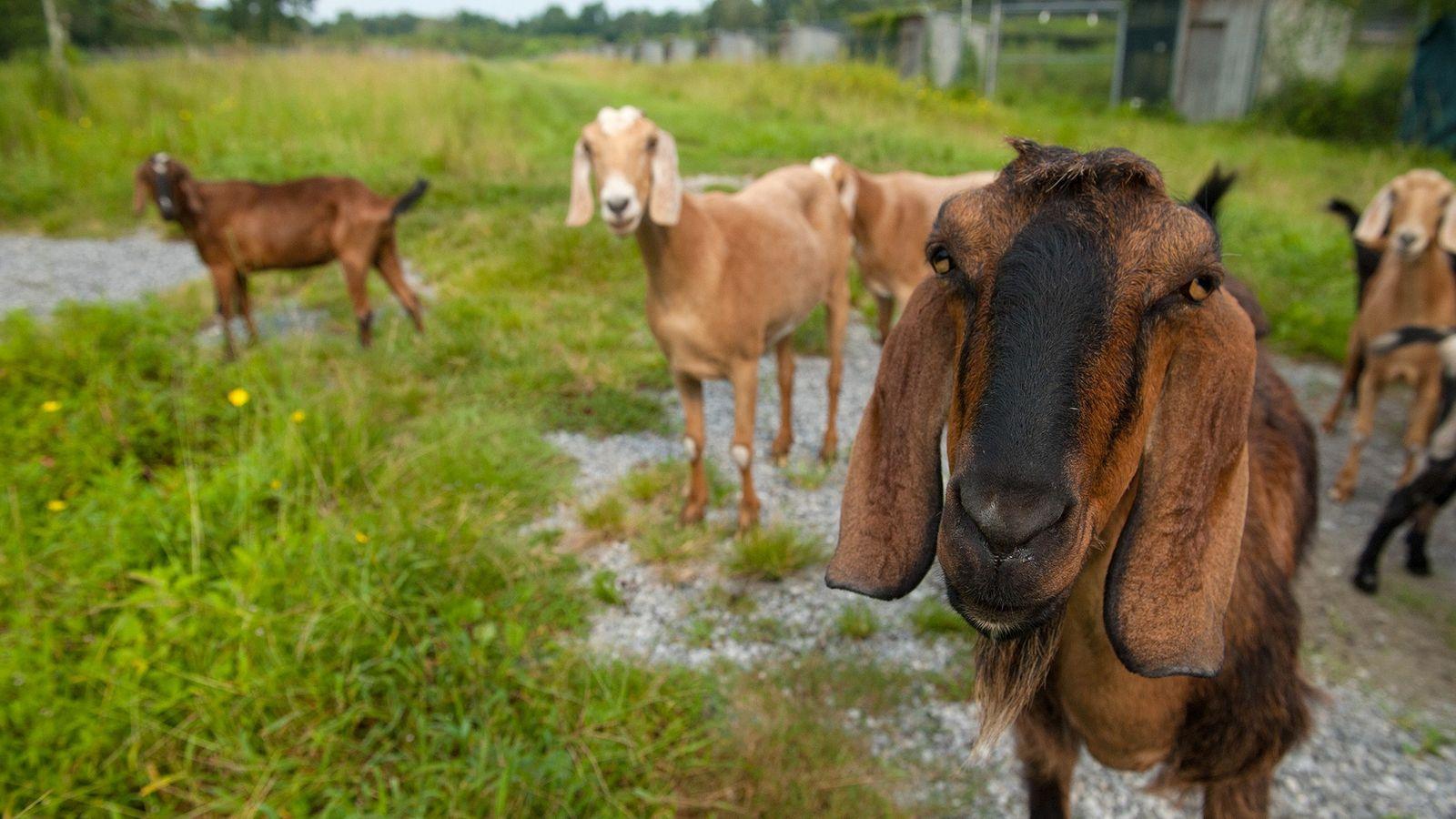 Ziegen sind intelligente und soziale Tiere. Eine neue Studie zeigt, dass sie anhand von Lautäußerungen erkennen ...