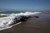 Ein gestrandeter Grauwal in Point Reyes Station, Kalifornien. Neue Forschungen lassen vermuten, dass Sonnenwinde die Tiere ...