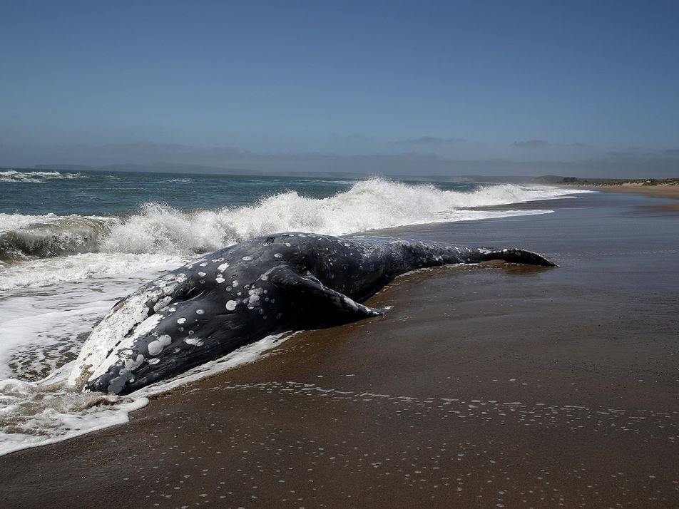 Sonnenwinde könnten Orientierungssinn der Wale stören