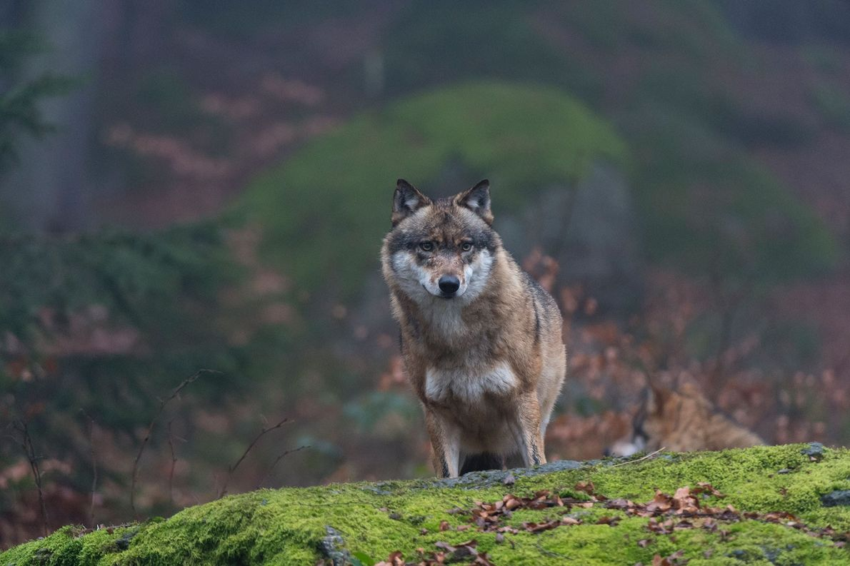 Könnten Tschernobyl-Wölfe Mutationen verbreiten?