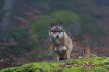 Wie viele Wölfe in Tschernobyl von der Strahlung beeinträchtigt wurden, ist derzeit nicht klar. Ihr Bestand ...