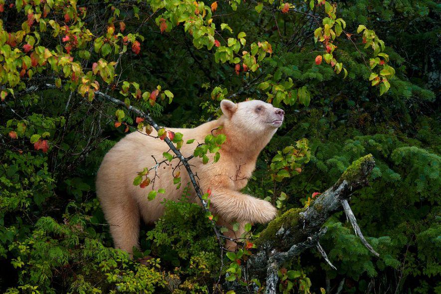 Ein Kermodebär, auch als Geisterbär bekannt, klettert auf einen Apfelbaum im Great Bear Rainforest von British ...