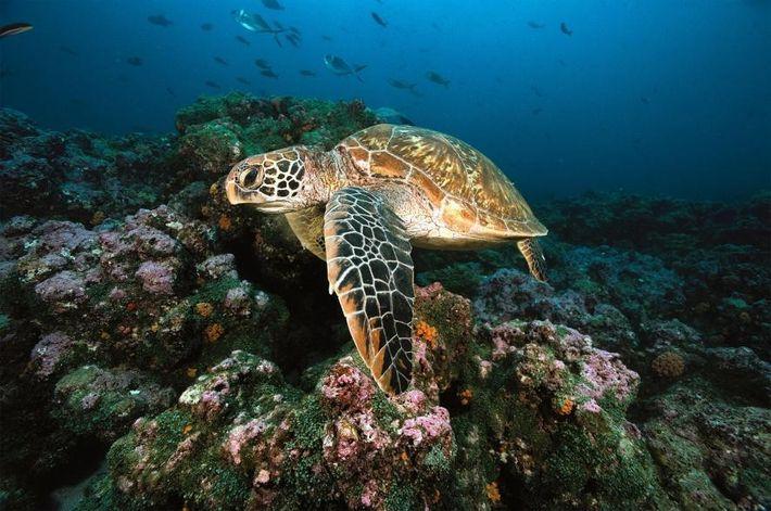 Es ist noch mehr Arbeit nötig, um das wechselnde Verhältnis der Geschlechter von Suppenschildkröten in anderen ...