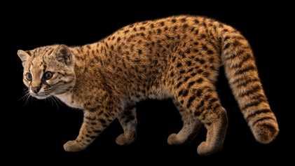 Mysteriöse Nachtkatze ist der 10.000. Passagier auf der Photo Ark