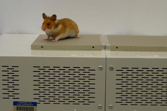 Ein Goldhamster beim Experiment auf einer Plattform mit variierenden Temperaturen.
