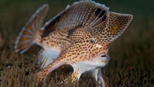 """""""Laufender"""" Handfisch ausgestorben: Eine Gattung am Abgrund"""