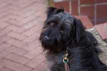 In den USA werden schätzungsweise 70 Millionen Hunde als Haustiere gehalten. Hier zu sehen ist ein ...