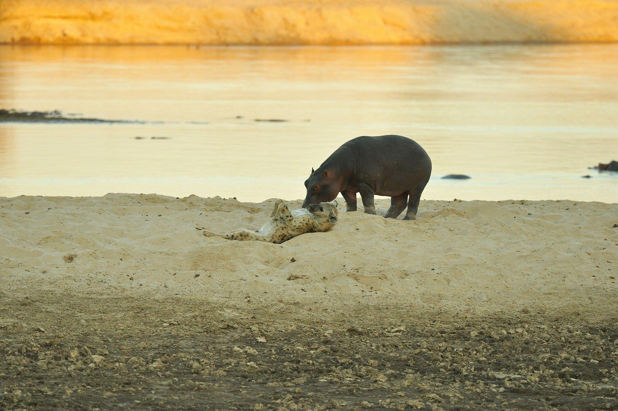Nasengruß zwischen Flusspferd und Hyäne: Eine Momentaufnahme | National Geographic