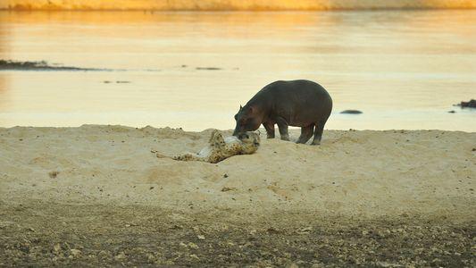 Nasengruß zwischen Flusspferd und Hyäne: Eine seltene Momentaufnahme