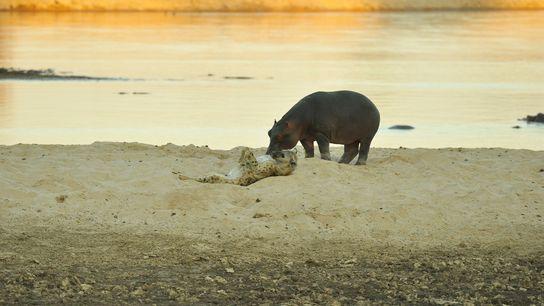 Dieses Foto einer Tüpfelhyäne, die sich neben einem Flusspferd auf den Rücken rollt, wurde im Juli ...