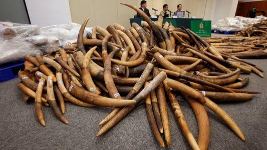 Gute Nachrichten für Elefanten: Einer der größten Märkte für Elfenbein schließt