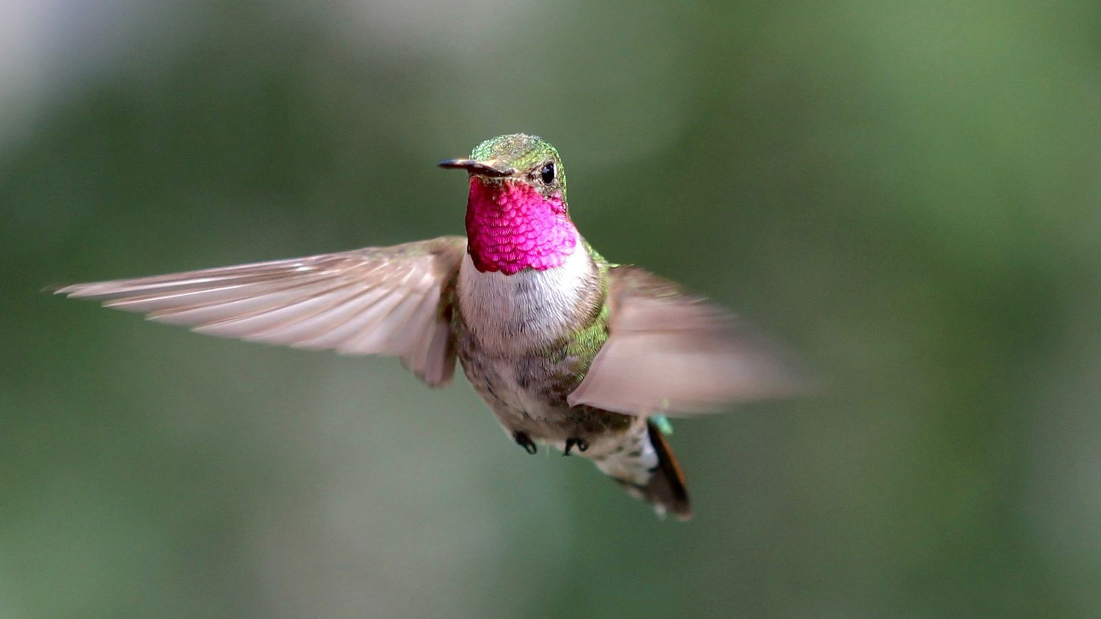 A male broad-tailed hummingbird flies in Colorado as part of an experiment on color vision.
