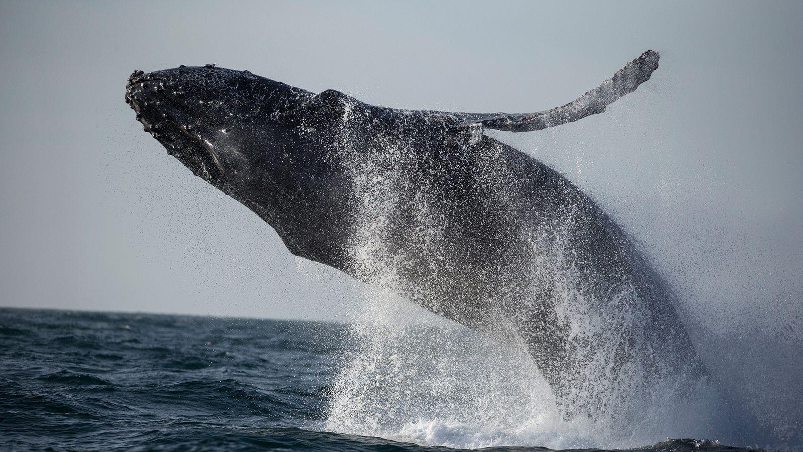 Seit Januar 2016 haben Wissenschaftler an der Ostküste der USA 88 tote Wale gezählt – mehr ...