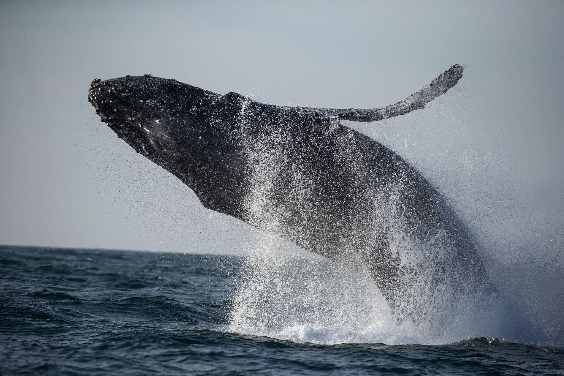 Seit Januar 2016 haben Wissenschaftler an der Ostküste der USA 88 tote Wale gezählt – mehr als doppelt so viele wie in den vorangegangenen drei Jahren.
