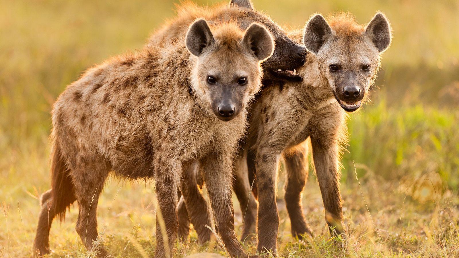 Tüpfelhyänen blicken vor ihrem Bau in der kenianischen Masai Mara in die Kamera des Fotografen. Hyäneneltern ...