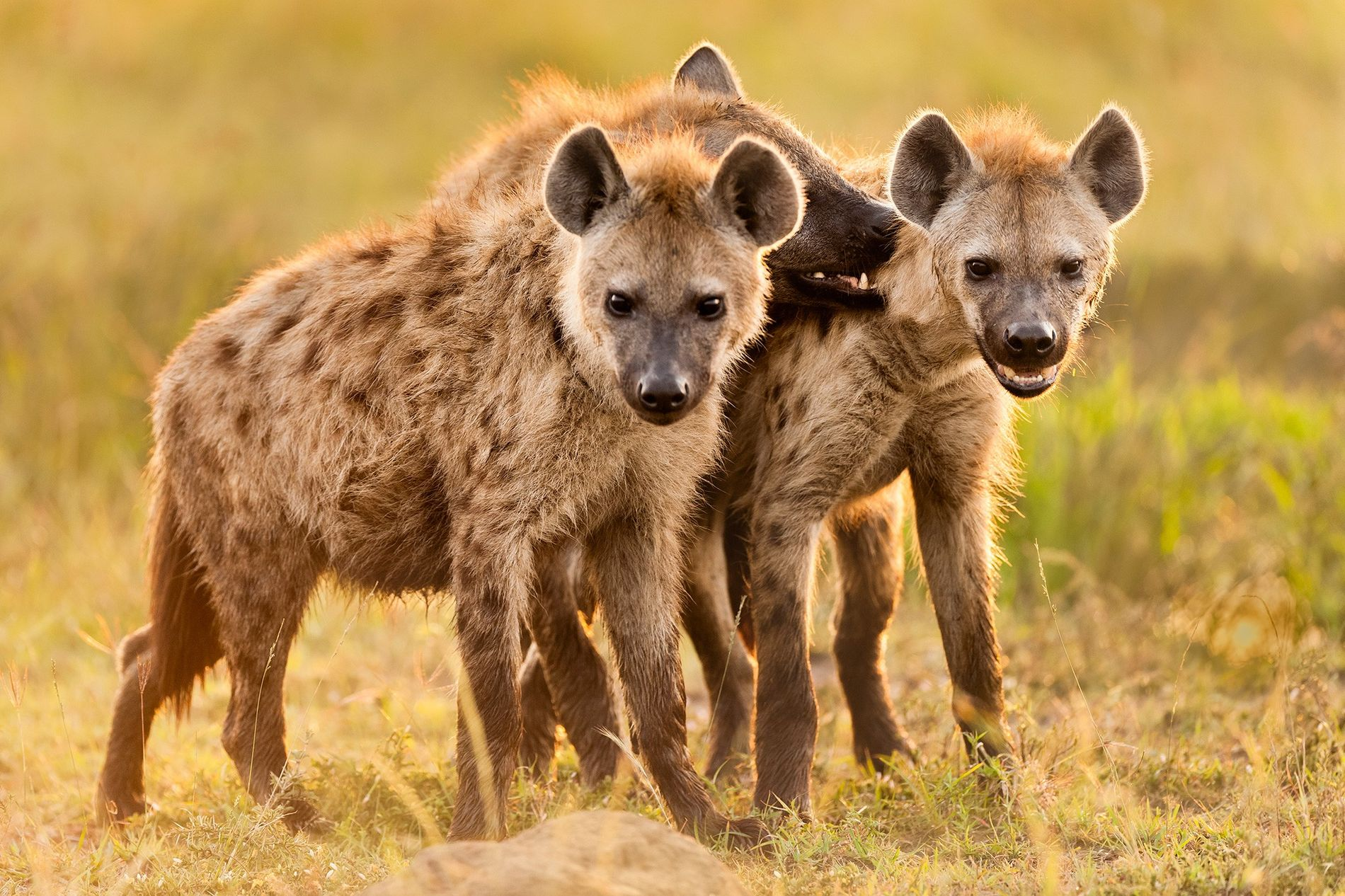Tüpfelhyänen blicken vor ihrem Bau in der kenianischen Masai Mara in die Kamera des Fotografen. Hyäneneltern spielen mit ihrem Nachwuchs viel ausgiebiger als andere Fleischfresser.