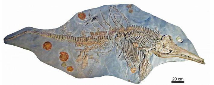 Skelett des Ichthyosaurus.