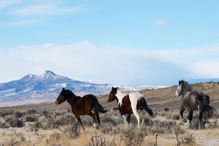 Der Umgang mit Mustangs ist in den USA ein umstrittenes Thema. Diese Tiere stammen aus einem ...