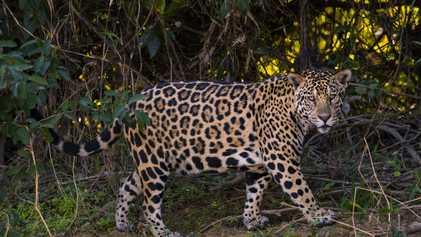 Wie chinesische Investitionen den Jaguarschmuggel befeuern