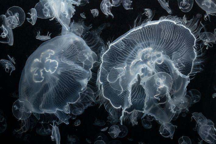 Viele Schirmquallen wie diese Ohrenqualle (Aurelia aurita) dienen zahlreichen Tieren als Nahrungsquelle.