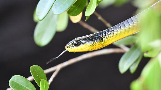 Diese Schlangen können springen – und keiner weiß warum