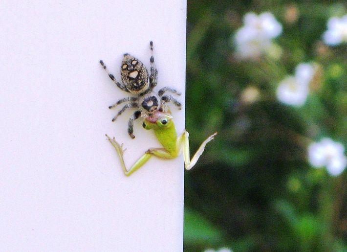 Spinne verzehrt Frosch