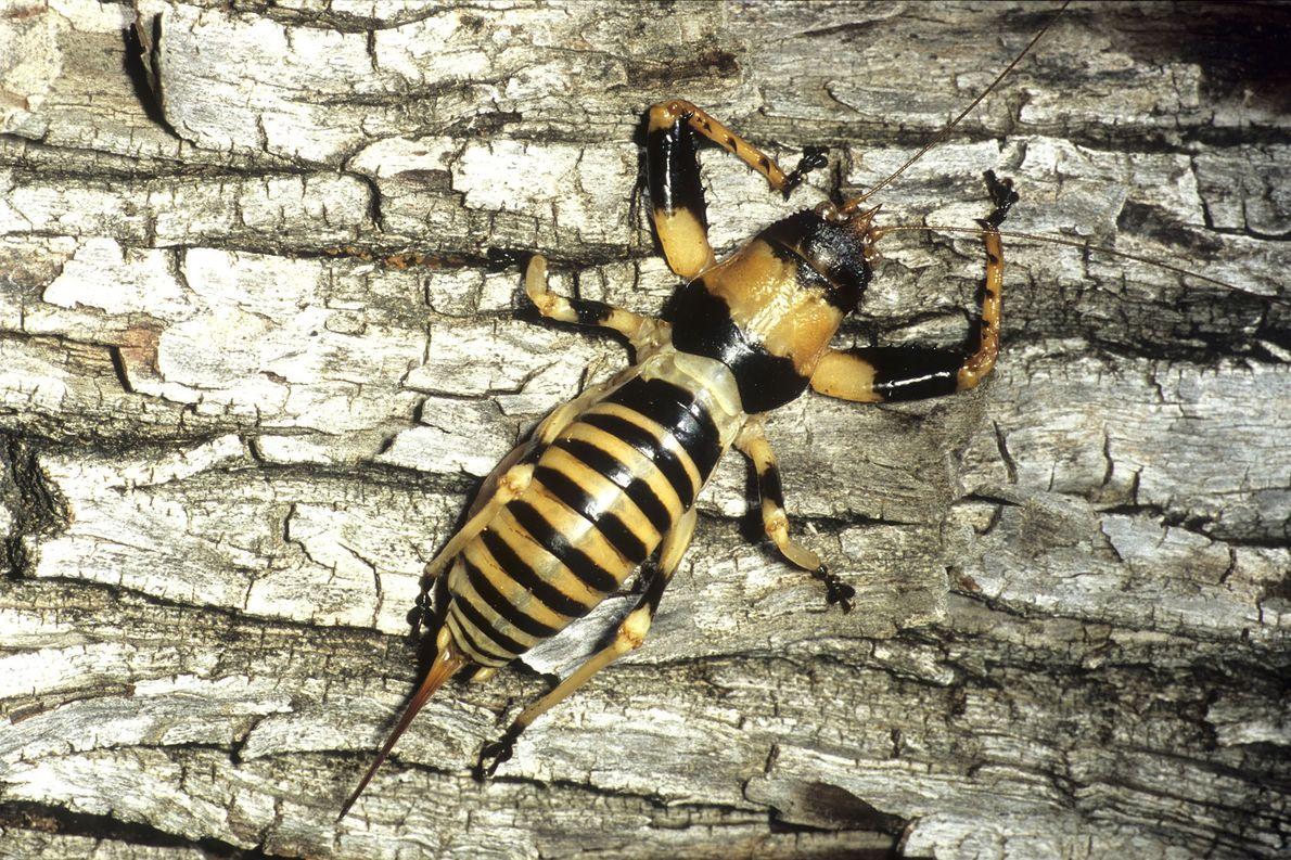 7 neu entdeckte Laubheuschrecken sind besonders aggressiv