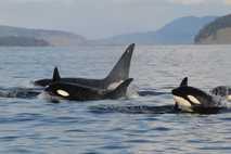 Orcafamilie