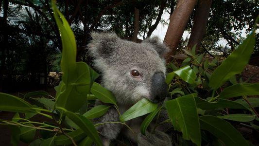 Eukalyptustoleranz ist für Koalas Fluch und Segen